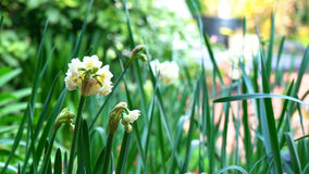 Springtime garden background with jonquil flowers. Springtime garden setting with close up of beautiful Erlicheer jonquil daffodils, shallow DOF royalty free stock photo