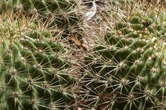 Close-up of thorns on two barrel cactus plants with dry leaf caught in thorns. Springtime in the garden Sydney, Australia royalty free stock photos