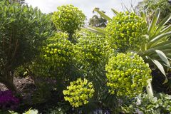 Euphorbia with a round flowerhead of small yellow/green flowers royalty free stock images