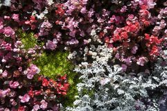 Plant wall with wax begonia, dusty miller and gold mound plants. Springtime in the garden, Sydney Australia royalty free stock images