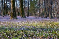 Springtime - glades of flowering crocus  in park. Cetinje, Montenegro. Springtime - glades of flowering crocus Crocus Vernus  in the park.  Cetinje, Montenegro Stock Image