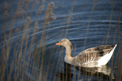 Springtime Goose Royalty Free Stock Photography