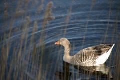 Springtime Goose Royalty Free Stock Photography