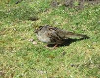 Springtime grey bird pecking on the ground, April 2019. Springtime grey bird pecking on the ground at Jericho beach, Canada, April 2019 stock photo