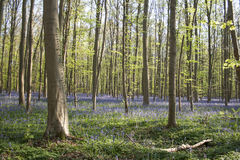 Springtime in Hallerbos Stock Images