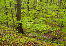 Springtime in hardwood forest. Stock Photos