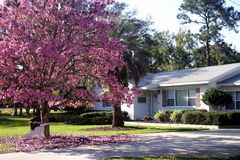 Springtime Home. Front of a white ranch-style house with a Pink Tabebuia tree in full bloom, Orlando, Florida Stock Images