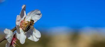 Springtime. Honey Bee Gathering Pollen From Almond Tree Blossoms, Blue Sky Background, Banner Stock Photo