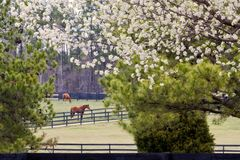 Springtime at the Horse Ranch. Bradford Pear Trees in Bloom at the Horse Ranch Stock Photos