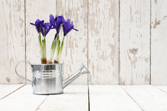 Springtime, iris potted flowers in watering can on wooden white Stock Photos