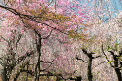 Springtime in Japan Stock Photography