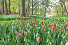 Springtime in Keukenhof Gardens, Netherlands. Stock Images