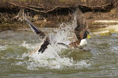 Two ducks i a dramatic fight royalty free stock images