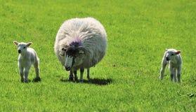 Springtime Swaledale lambs Stock Image