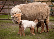 Springtime lambs. Little baby springtime lambs with their mother sheep Royalty Free Stock Images