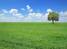 Springtime landscape. Field with grass and lonely tree in springtime Royalty Free Stock Image