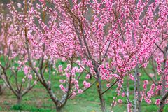 Free Springtime Landscape With Peach Tree Orchards In The Countryside Stock Photos - 216411913