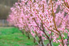 Free Springtime Landscape With Peach Tree Orchards In The Countryside Stock Photography - 216634962