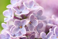 Springtime lilac background, close up Royalty Free Stock Image