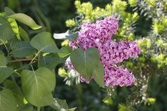 Springtime is when lilac flowers bloom Royalty Free Stock Images