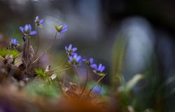 Springtime liverworts in close up Royalty Free Stock Photography