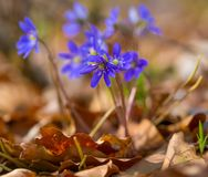Springtime liverworts in close up Royalty Free Stock Images