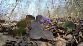 Springtime liverworts (Hepatica nobilis) flowers. 4K stock video footage