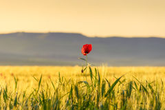 Springtime. Lone poppy over wheat field at dawn. Apulia (Italy). Stock Image
