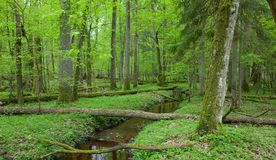 Springtime look of deciduous stand with stream Stock Image