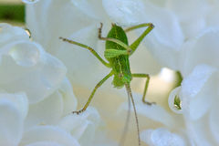 Springtime. Macro shot of a green grasshopper with water drops stock image