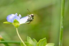Springtime. Macro shot of a snout beetle on speedwell birdeye Stock Photos
