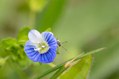 Springtime. Macro shot of a snout beetle on speedwell birdeye royalty free stock photos