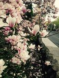 Springtime Magnolia. Flowering tree flowers Royalty Free Stock Photo