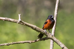 Springtime Male Orchard Oriole bird perched on a branch Royalty Free Stock Photos
