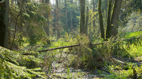 Springtime marshy stand with old alder trees Stock Image