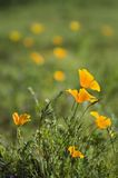 Springtime Meadow of Golden Poppies Royalty Free Stock Photography