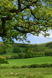 Springtime Meadows. Overhead branches of an oak tree in spring, with sheep, meadows, trees and flowering hawthorns beyond Stock Photography