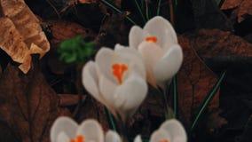 Crocuses flowers in springtime stock video footage