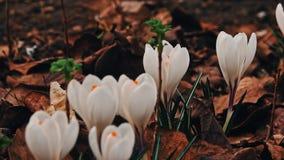 Crocuses flowers in springtime stock video