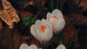Crocuses flowers in springtime stock footage