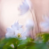 Springtime is the moment for this beautiful flower. Snowdrop anemone Royalty Free Stock Photos