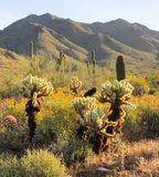 Springtime Morning Scene in the Sonoran Desert. Early morning light on distant mountains, foreground cholla cacti and blooming wildflowers in the McDowell Stock Photo