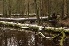 Springtime morning in wetland forest Stock Image