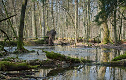 Springtime morning in wetland forest Stock Photos