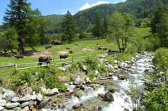 Springtime at mountain farm. Spring time on an alpine meadow Switzerland Stock Images