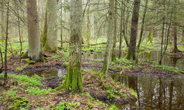 Springtime at murshy forest. Springtime landscape of old swampy forest, europe, temperate forest Stock Photo