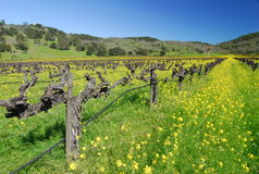 Springtime in Napa. Napa vineyard , California in spring Stock Photo