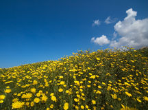 Springtime in nature. A hill with many yellow flowers and a blue sky Royalty Free Stock Photos