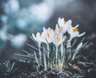Springtime nature with close up of first lovely crocuses. Royalty Free Stock Photography