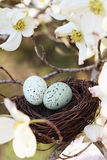 Springtime Nest. Painterly image of two eggs in a small nest with dogwood blossoms surrounded it. Extreme shallow depth of field with some blur. Selective focus royalty free stock images
